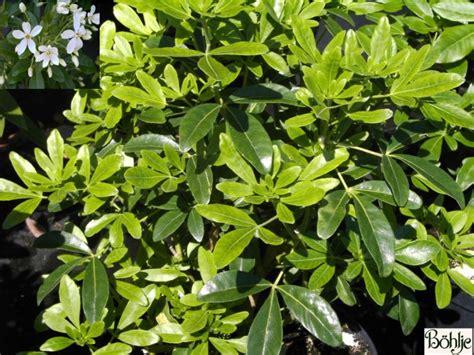 Strauch Garten Winterhart by Choisya Ternata Orangenblume Immergr 252 N Duftend