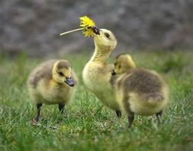 goslings baby geese domestic geese pinterest