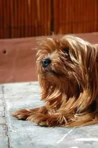 yorkie grooming tips additional grooming tips for terrier myterrierdog info