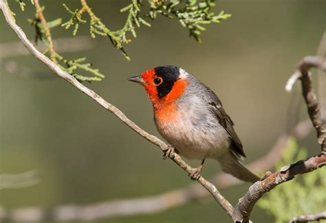 red faced warbler audubon field guide