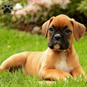 boxer puppies in pa boxer puppies for sale in pa