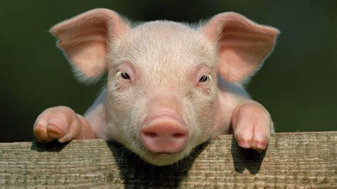 arrieres plans cochon