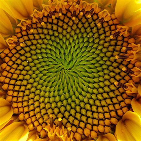 natural pattern flower fibonacci patterns in nature study natural pattern