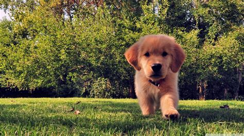 golden retriever wallpaper golden retriever wallpapers hd