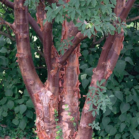paperbark maple finegardening