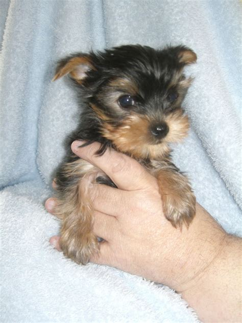 yorkie miami micro teacup yorkies for sale in miami
