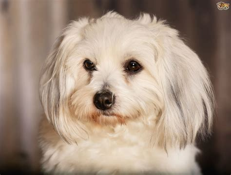 Is the Coton de Tulear a good family dog?   Pets4Homes