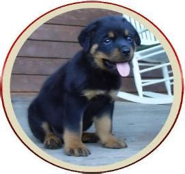 craigslist rottweiler puppies for sale rottweiler puppy craigslist dogs in our photo