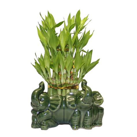 Lucky Bamboo Vase three tiered lucky bamboo arrangement elephant vase favor
