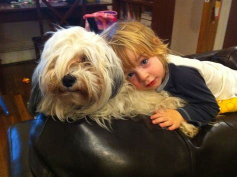 are havanese with children dogs that are great with children akc havanese puppies