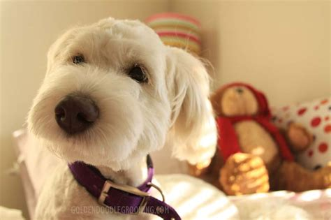 goldendoodle with puppy cut goldendoodle haircuts that will make you swoon