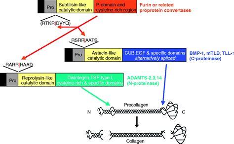n proteinase procollagen trafficking processing and fibrillogenesis