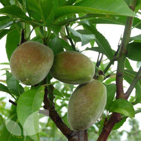almond fruit tree almond robijn fruit trees for sale