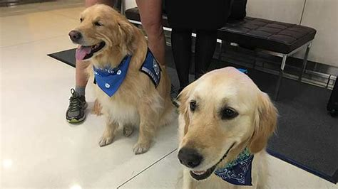 what is a comfort dog chicago comfort dogs head to orlando