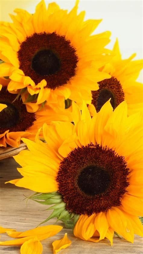 wallpaper for iphone sunflower cool wallpapers for iphone 6 iphone 6s iphone 7