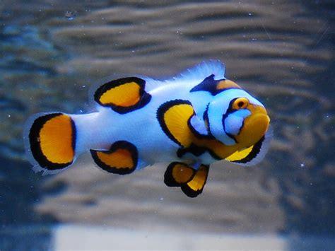 jual berbagai jenis picasso clownfish nemo grade tertinggi terendah kaskus