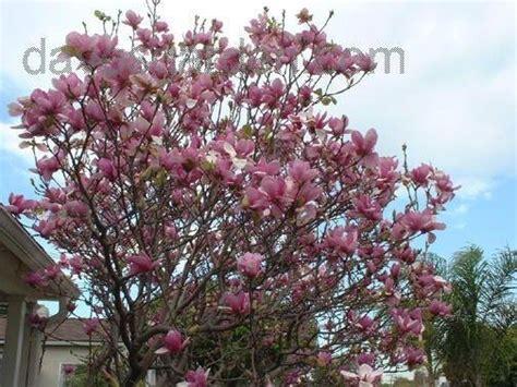 wallpaper moheng saucer magnolia tree facts