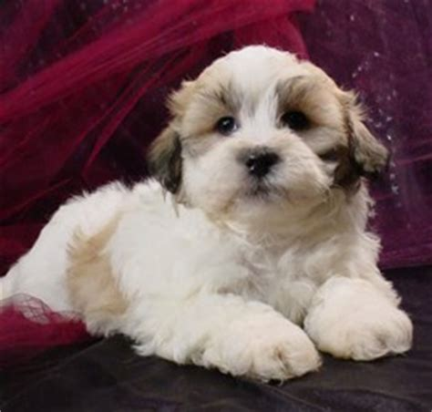 bichon frise cross shih tzu for sale shih tzu bichon puppies puppy for sale healthy puppies iowa