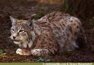 les photos du lynx