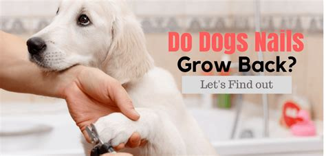 how does it take for a puppy to grow how does a nail take to grow back best nails 2018