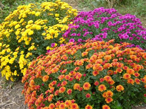 how to grow mums from seed simple and easy gardening