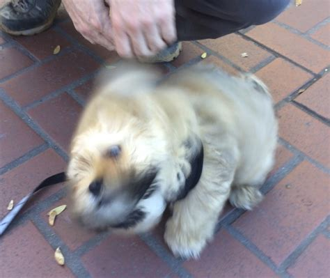 my shih tzu is shaking of the day milo the shih tzu pomeranian mix puppy the dogs of san franciscothe