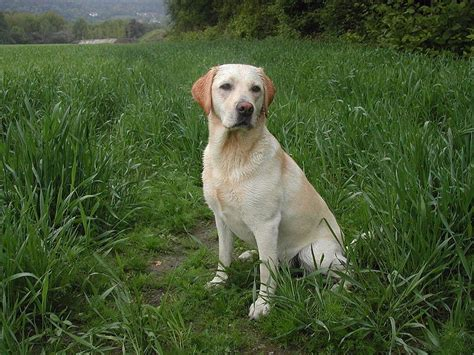 asthma in dogs why dogs reduce asthma and allergy risks in children