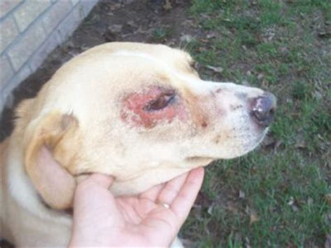 green eye discharge right black eye pit breeds picture