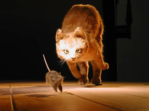 cat chases dscn0345 cat chasing mouse naturalis museum of hi flickr
