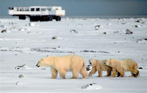 best value churchill polar viewing canada polar bears