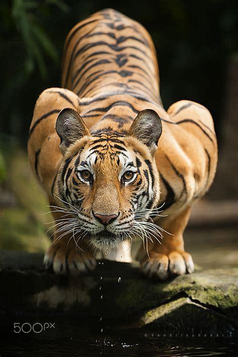 animal bengal tiger majestic tiger bengal tiger by hendri suhandi