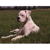 White Boxer Pitbull Mix