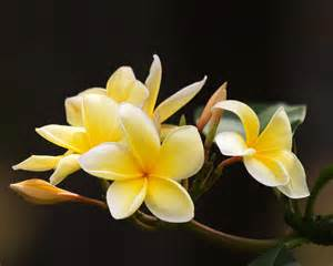 Flower Pic by Flowers Wallpapers Frangipani Flowers Wallpapers