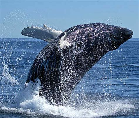 imagenes sorprendentes de ballenas fotos de ballenas im 225 genes de ballenas