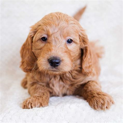 doodle doodle breeders goldendoodle puppies goldendoodle mini