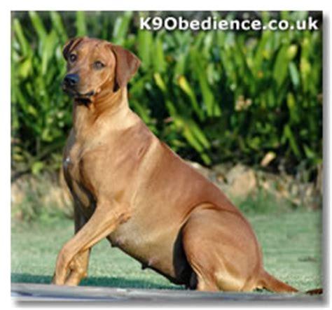 pseudopregnancy in dogs false pregnancies in dogs pseudopregnancy pseudocyesis