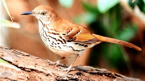 brown thrasher  close  natural youtube