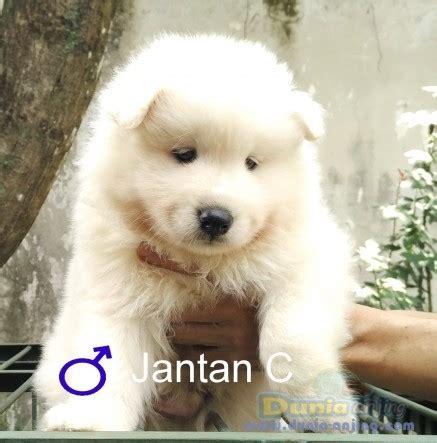 Anakan Anjing Samoyed dunia anjing jual anjing samoyed dijual samoyed