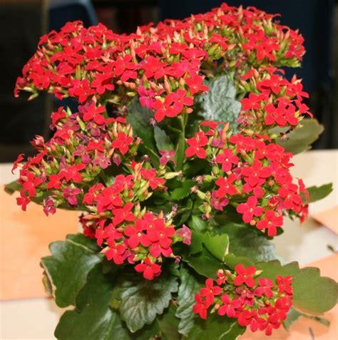 kalanchoe blossfeldiana flowers