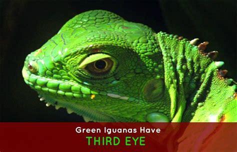 do iguanas change color 26 best green iguana care images on green