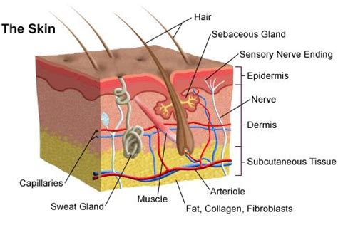 Vertical Section Of Human Skin by Science Human Skin