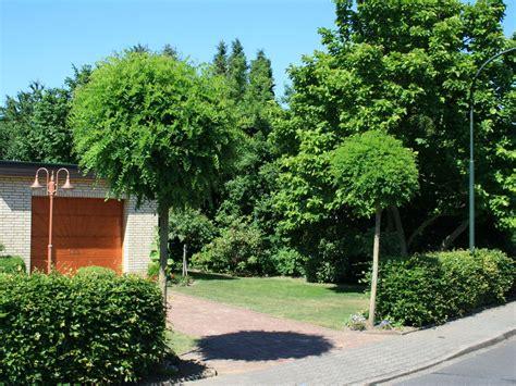 kugel trompetenbaum kaufen kugel robinie kugelakazie robinia pseudoacacia