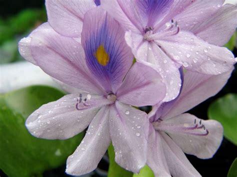 fiori di giacinto giacinto d acqua piante acquatiche giacinto d acqua