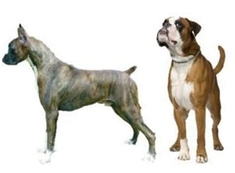 when to dock puppy tails boxer how its done or not