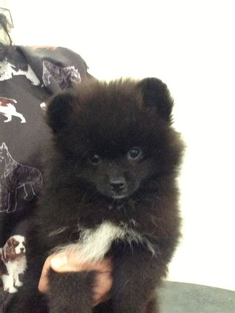 black pomeranian puppies the gallery for gt black puppy pomeranian