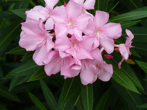 oleander plant oleander auntie dogma s garden spot