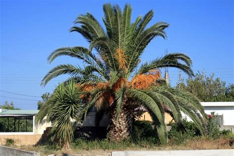 palma pianta da giardino palma pianta piante da giardino caratteristiche della