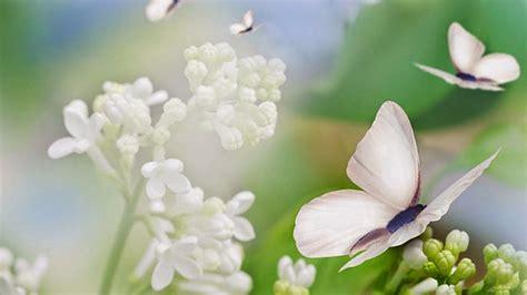 imagenes de mariposas blancas volando operculum mariposas blancas en invierno