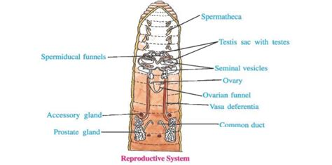 earthworm dissection seminal vesicles reproductive system of earthworm copulation reproductive cycle