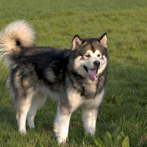 alaskan breeds alaskan dogs breeds breeds